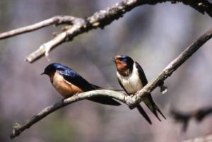 JG.Pair of Barn Swallows.jpg